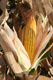 Dry Corn. A shot of dry yellow corn still in husk on the stalk Royalty Free Stock Photo
