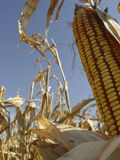 Dry corn. Corn cob on blue sky background in a field in central Indiana Stock Photography