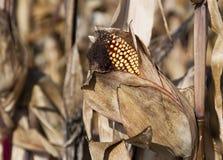 Dry corn Royalty Free Stock Photos