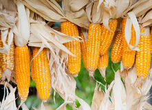 Dry corn. Background style image Stock Images