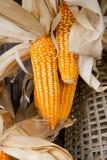 Dry corn. Background style image Royalty Free Stock Photo