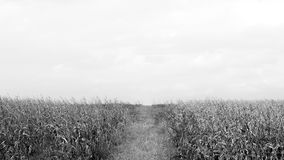 Dry corn black and white Stock Images