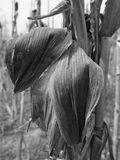 Dry corn close up black and white. Dry corn field with plant viewed Royalty Free Stock Image