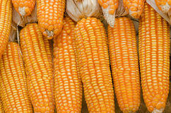 Dry corn Stock Photo