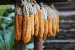Dry corn cob Stock Photos