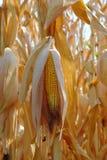 Dry corn cobs Stock Image