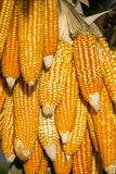Dry corn cobs Royalty Free Stock Photo