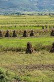 Dry corn crops on the field. Piles of dry corn crops on the field stock image