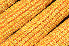 Dry corn detail Stock Photography