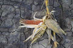 Dry corn on dry earth in corn farm Stock Images