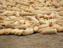 Dry corn Royalty Free Stock Image
