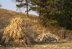 Dry corn ears stack,stone pile. Dry corn ears stack, stone pile, twig bunch stock photos