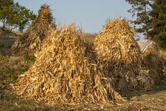 Dry corn ears stacks. Dry yellow corn ears stacks on countryside meadow stock image