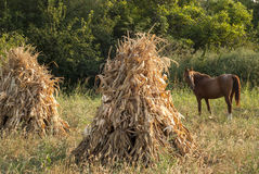 Dry corn ears stacks and horse Royalty Free Stock Photo