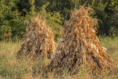 Dry corn ears stacks Stock Photos