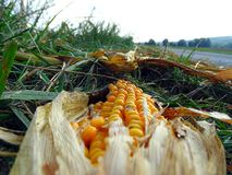 Dry corn on the edge of the field royalty free stock image