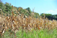 Dry of corn farm in summer season after harvest Stock Image