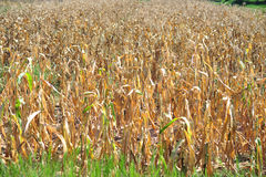 Dry of corn farm in summer season after harvest Royalty Free Stock Photo
