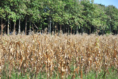 Dry of corn farm in summer season after harvest Royalty Free Stock Photos