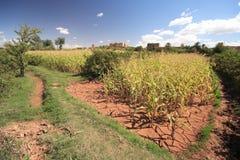 Dry Corn Field Stock Image