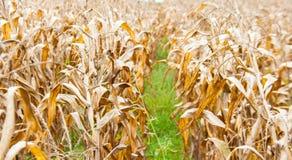 Dry corn field in autumn Stock Photo