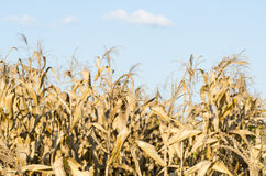 Dry corn field Royalty Free Stock Images