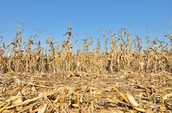 Dry corn field Royalty Free Stock Image