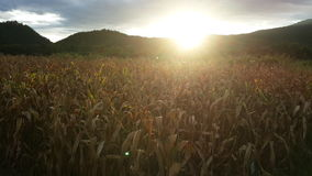 Dry corn field. Dre corn field in the evening with sunset Royalty Free Stock Image