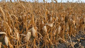 Dry corn field. stock video