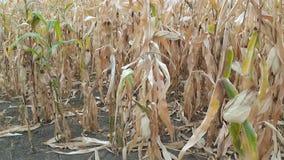 Dry corn field stock video