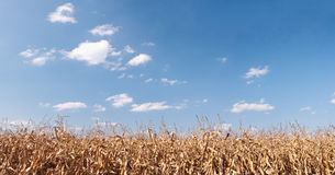 Dry corn field panorama Stock Photography