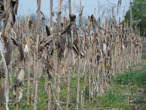 Dry corn field with plant viewed 2 Stock Photography