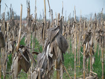 Dry corn field with plant viewed 3. Dry corn field in spring Royalty Free Stock Photography