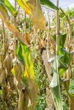Dry corn field Stock Images