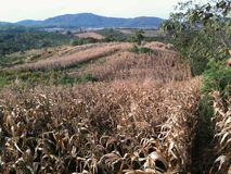 Dry corn field in the valley Royalty Free Stock Image