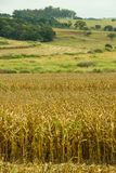 Dry Corn Fields Stock Images