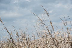 Dry corn Royalty Free Stock Photo