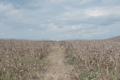 Dry corn Stock Photos
