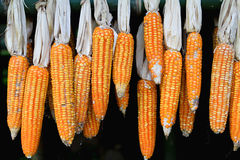 Dry corn hanging on the wall Stock Images