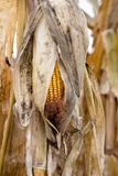 Dry corn maize in field ready for harvest at autumn season Royalty Free Stock Image