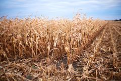 Dry corn or maize plants in a farm field Stock Photos