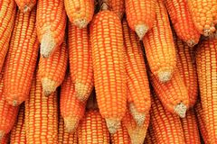 Dry Corn Royalty Free Stock Image