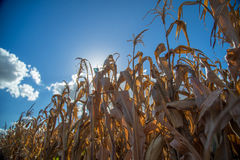 Dry corn plantation. Field plant Royalty Free Stock Images