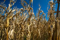 Dry corn plants Stock Photography