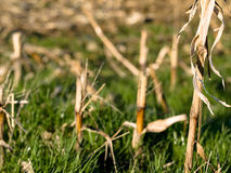 Dry corn stacks Royalty Free Stock Photo