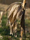 Dry corn stalk. With empty ear Royalty Free Stock Photos