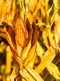 Dry corn on the stalk in the field Royalty Free Stock Photos