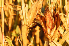 Dry corn on the stalk in the field Royalty Free Stock Image