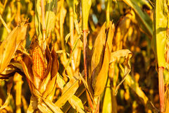 Dry corn on the stalk in the field Stock Photos
