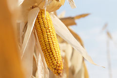 Dry corn on the stalk Royalty Free Stock Photography